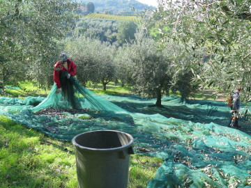 Floriano gathering olives in net
