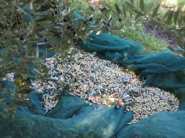Olives in Nets