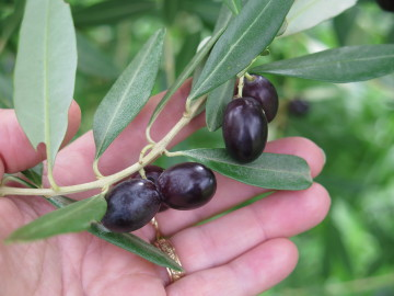 purple olives for olive oil
