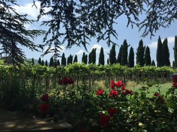 Vineyard and cypresses by mayde 6-9-15