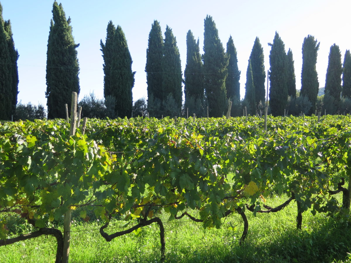 Cypresses and Vineyards